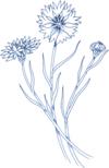 Cornflower outline