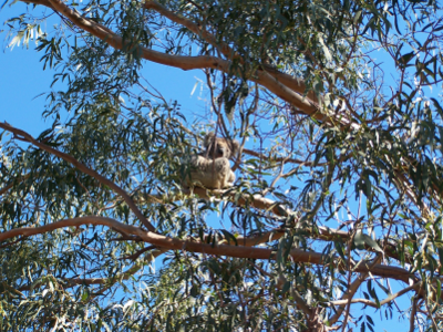 Sleepy koala