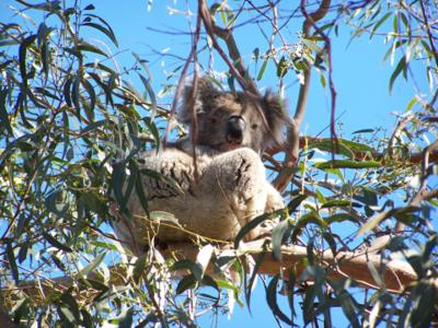 Sleepy koala 2