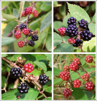 Blackberry Harvest ~ One Day In May 1